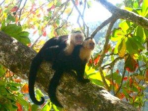 Western coast of Costa Rica, white faced capuchin monkeys